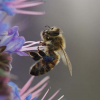 Course: Introduction to the Honeybee