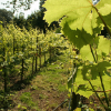 Growing grape vines