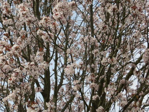 hawkwood blossom